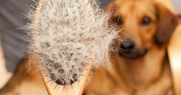mon chien perd ses poils