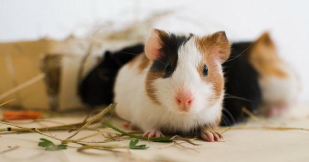 reconnaitre cochon dinde malade