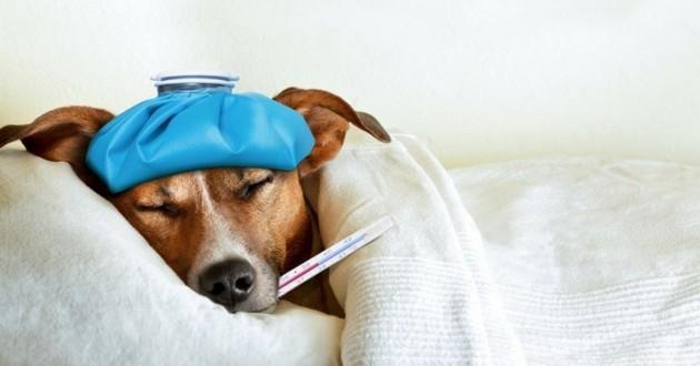 comment savoir si votre chien est malade soigner son chien au quotidien wamiz. Black Bedroom Furniture Sets. Home Design Ideas