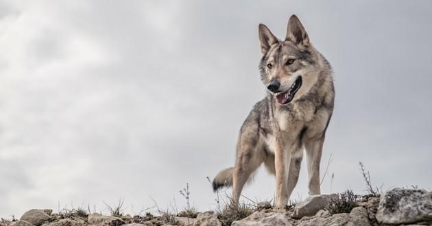Origine du chien : le loup