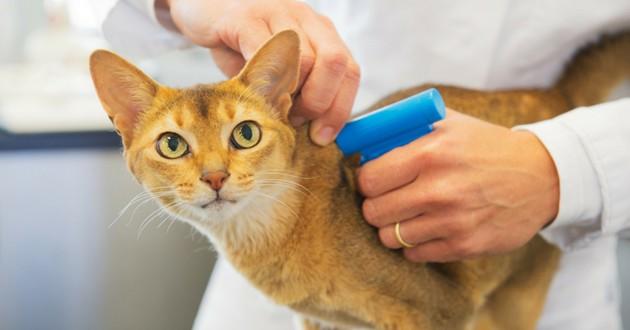identification du chat tatouage ou puce électronique