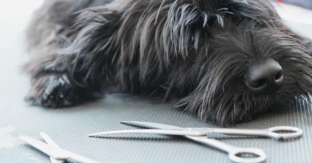 coupe ciseaux chien