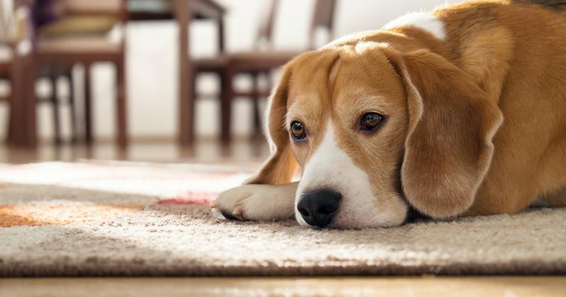 apprendre son chien rester seul ordres de base wamiz. Black Bedroom Furniture Sets. Home Design Ideas
