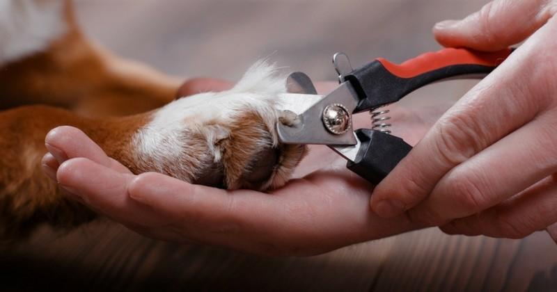Comment couper les griffes du chien toilettage du chien - Comment couper les griffes d un chien ...