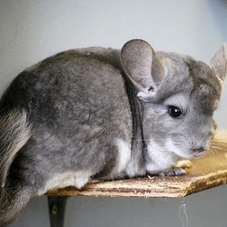 adopter un chinchilla