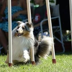 agility chien