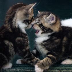 agressivité sociale chat