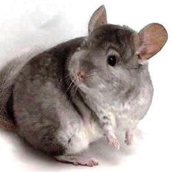 alimentation chinchilla sauvage