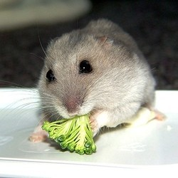 aliments interdits hamster