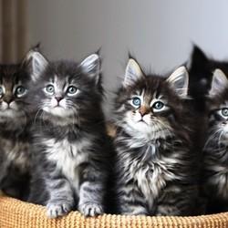 allaitement des chatons
