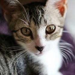 allergie aux chats quel chat acheter wamiz. Black Bedroom Furniture Sets. Home Design Ideas