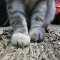 chat griffe moquette
