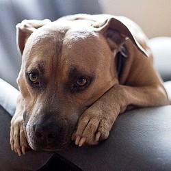 chien coupable