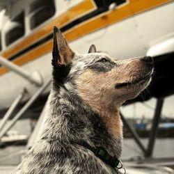 voyage avion chien