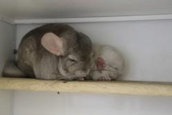 caractéristiques, allaitement et sevrage des bébés chinchillas