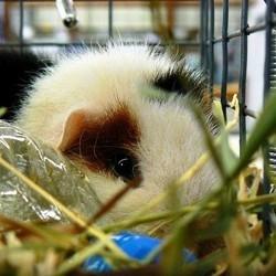cage cochon dinde