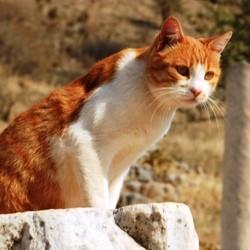 chat empire romain