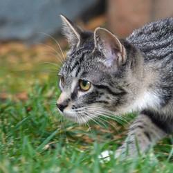 chaton chasse