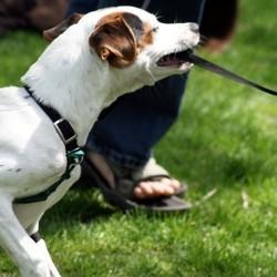 chiens dangereux éducation du chien responsabilité du maître