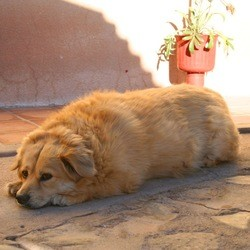 type chien obese