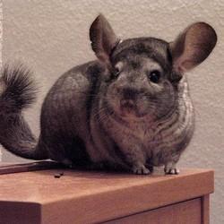 l'évolution du chinchilla comme animal de compagnie