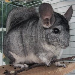 origines du chinchilla