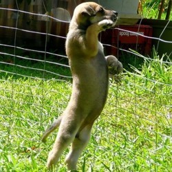 chiot debout cloture fugue