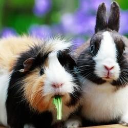 cohabitation lapin et cochon d'Inde