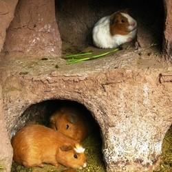 cohabitation cochon dinde