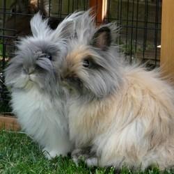 rencontre entre 2 lapins nains