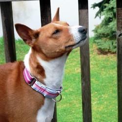 collier anti fugue chien