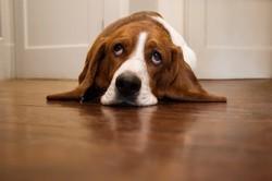 contrainte chien d'appartement