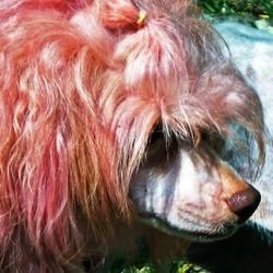 couleur pour chien pelage