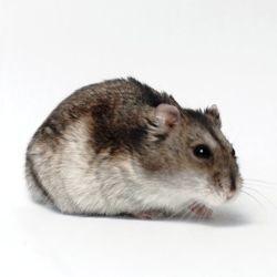 cricétidés famille hamsters