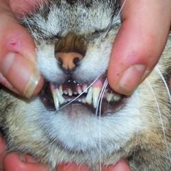 problèmes dents chat