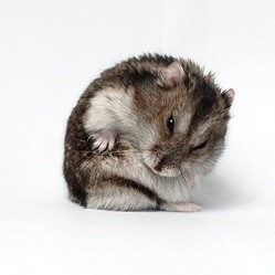 diarrhée hamster