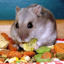 friandise hamster