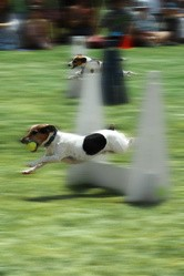 flyball chien