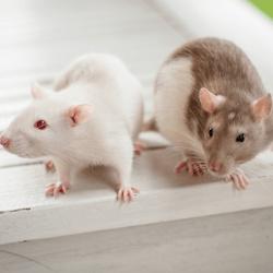 deux-rats