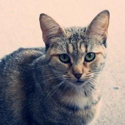 génétique du chat
