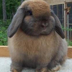 obésité chez le lapin