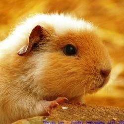 granules cochon dinde