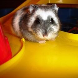 hamster en fuite