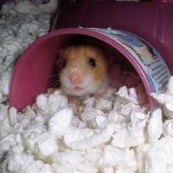 hamster litière
