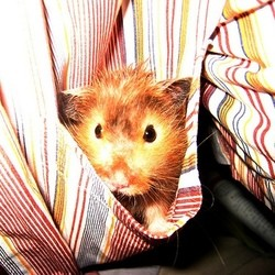 hamster malade