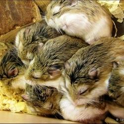 hamster seul en couple