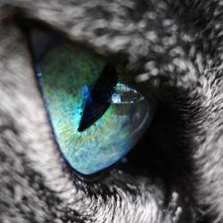 hygiène oeil chat