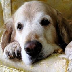 incontinence chien âgé soins naturels