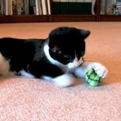 jouets pour chat lesquels choisir le jeu chez le chat wamiz. Black Bedroom Furniture Sets. Home Design Ideas
