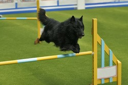 jumping chien